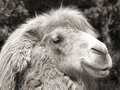 Camel portrait (vintage sepia shot) Royalty Free Stock Photo