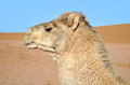 Camel portrait wild walking in the sahara desert in morocco Royalty Free Stock Image