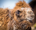 Camel portrait in the zoo Stock Image