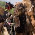 Camel at the pushkar fair rajasthan india mela Stock Photos