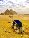stock image of  Camel and Pyramids . Egypt