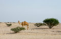 Camel in the Qatari desert Royalty Free Stock Photo