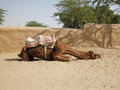 Camel resting in the desert one by a mud boundary wall that deserts of rajasthan india Stock Photography