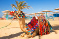 Camel resting in shadow on the beach of hurghada egypt Royalty Free Stock Photos