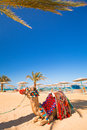 Camel resting in shadow on the beach of hurghada egypt Stock Photo
