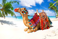 Camel ride on the beach Royalty Free Stock Photo