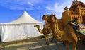 Camel ride at great Rann of Kutch Rann Utsav, Gujarat Royalty Free Stock Photo