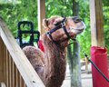 Camel rides a harnessed happily waits to give Stock Photo