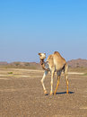Camel in the rock desert mountains of oman background Stock Image