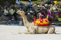Camel with saddle on the ocean beach