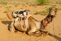 Camel Safari Royalty Free Stock Image