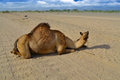 Camel sitting on the road in desert close up Royalty Free Stock Image