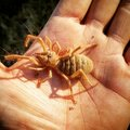 Photo : Camel Spider   of