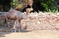 Camel standing at the egyptian zoo in cairo Royalty Free Stock Image