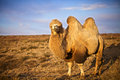 Picture : Camel wise