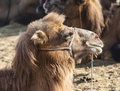 Camel take rest outside Stock Images