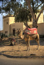Camel taxa (Morocco) Stock Photo