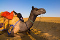 Camel in Thar desert Stock Photos