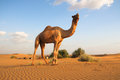 The camel Royalty Free Stock Photo