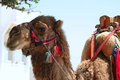 Camel for tourists in mersin turkey Stock Photo