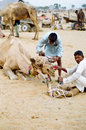 Camel traders decorating their camels during the annual camel fair pushkar india Stock Photography