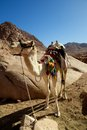 Camel trek lonesome waiting to go on a in the mountains of sinai Stock Photos