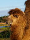 Camel with a twig in its beak Royalty Free Stock Photography