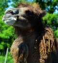 Camel  is an ungulate within the genus Camelus, Royalty Free Stock Photo