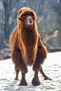Camel walks in the snow bactrian Royalty Free Stock Image