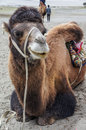 Camel a young in nubra valley Stock Photography