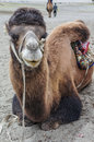 Camel a young in nubra valley ladakh Royalty Free Stock Photo