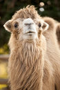 Camel in the zoo close up Stock Photography