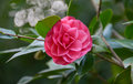 Camelia Blossom Royalty Free Stock Photo