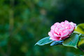 Camellia background Royalty Free Stock Image