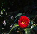 Camellia in bloom Royalty Free Stock Photo