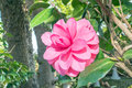 Camellia cv in the garden Stock Photos