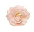 Camellia flower isolated white background Royalty Free Stock Photos