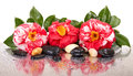 Camellia flowers and black stones isolated Stock Photography