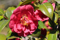 Camellia japonica flowering plant close up Royalty Free Stock Image