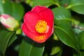 Camellia Japonica in March Royalty Free Stock Images