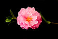 Camellia pink flower with stem on black background Stock Photography