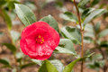 Camellia small pink in the garden Royalty Free Stock Photo