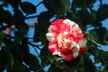 Camellia white and pink in the spring garden Royalty Free Stock Photo