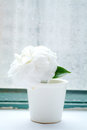 Camelliae in cup beside window Royalty Free Stock Image