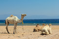 Camels on the beach Stock Image