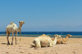 Camels on the beach Stock Photography