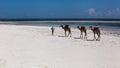 Camels are on the beach man leads white along ocean mombasa sunrise africa sun kenya sunrise over indian ocean Stock Photography