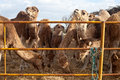 Camels at camel farm in tunisia Stock Photography