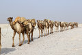 Camels caravan carrying salt in Africa`s Danakil Desert, Ethiopia Royalty Free Stock Photo