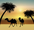 Camels in the Desert Stock Images